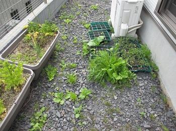 20130606 家庭菜園5.jpg